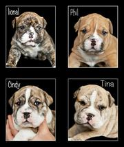 Australian Bulldog Puppies For Sale