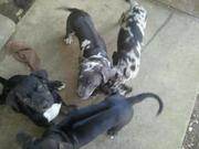 Neo mastiff x leopard hound puppies