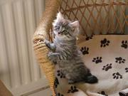 Delightful Maine Coon Cross Kittens