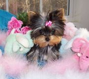 Nice Yorkie male and Female puppy.