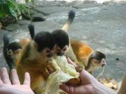 Outstanding Squirrel monkeys for sale